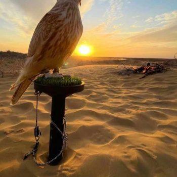 falcon in dubai desert